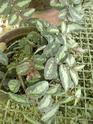 Pellionia daveauana  P1130323