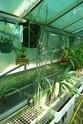 Dockrillia teretifolia P1130425