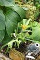 Chévreloup le 16 07 15 : Pitcairnia amoena  Pitcai10