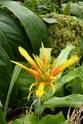 Chévreloup le 16 07 15 : Pitcairnia amoena  Pitcai11