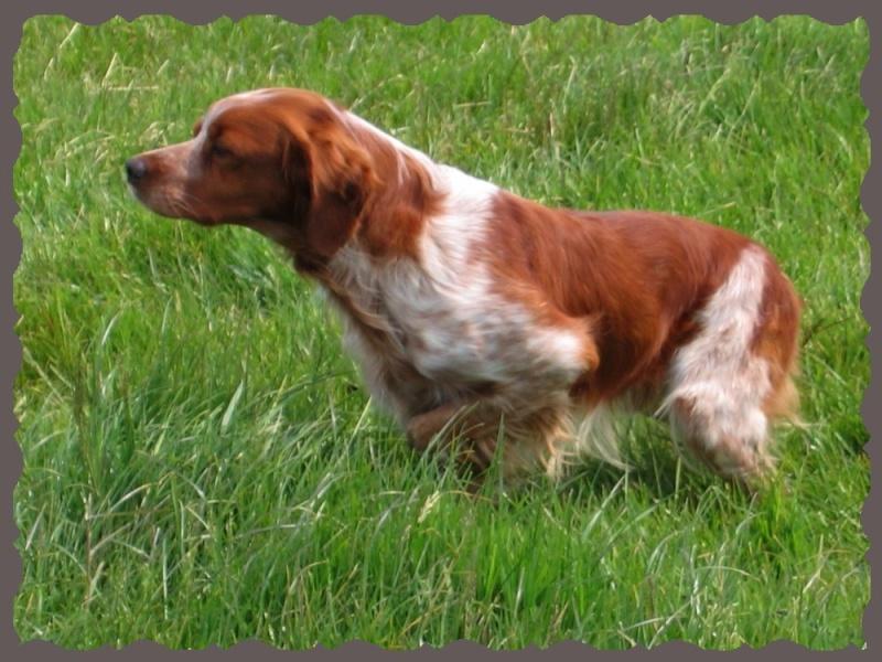 Les chiens de vos rêves en photos! - Page 2 Breton10