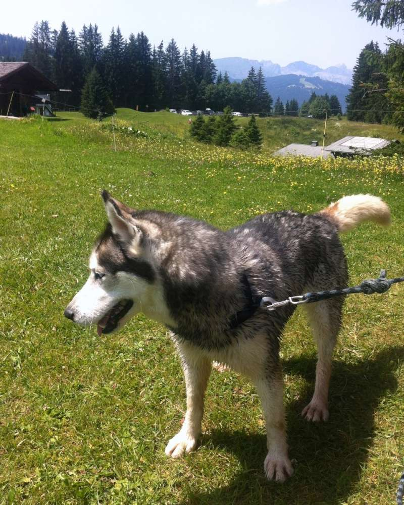 Echo, 6 ans, Husky ( f )- Pour maître sportif REFU78   02410
