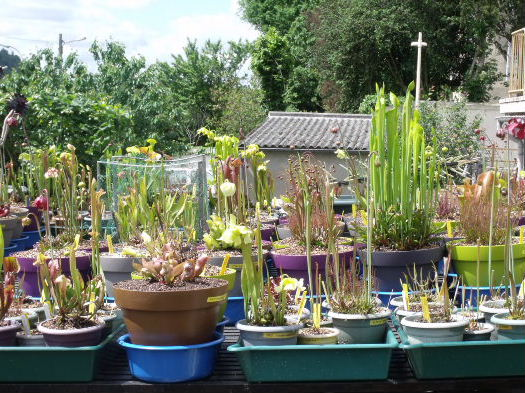 Mise à jour 2013 Sarracenia Growli10