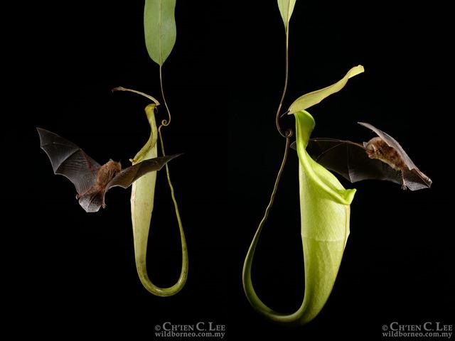 N. Hemsleyana : Des plantes carnivores attirent acoustiquement des chauves-souris Chauve10