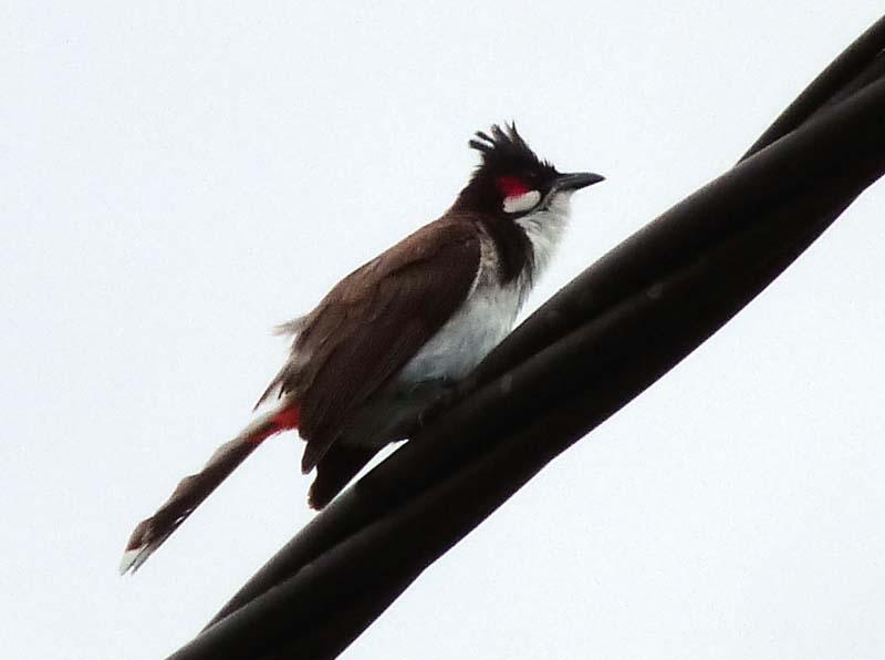 et quelques oiseaux de la Réunion... Rbulbu10