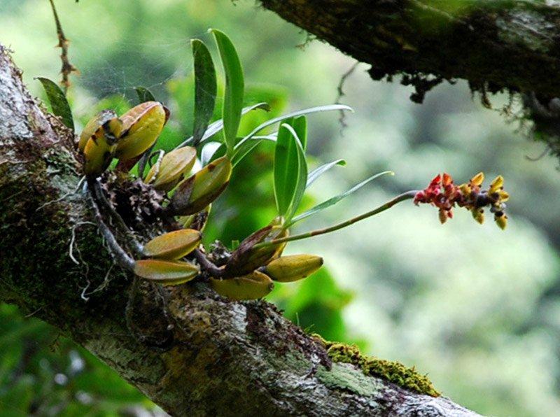 Bulbophyllum prismaticum Rbulpr10