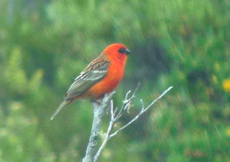 et quelques oiseaux de la Réunion... Rcardi10