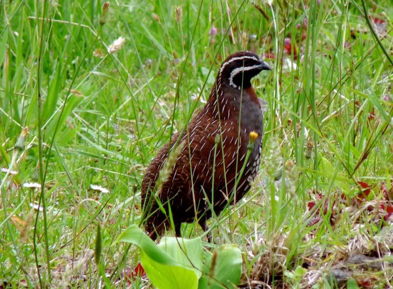 et quelques oiseaux de la Réunion... Rperdr10