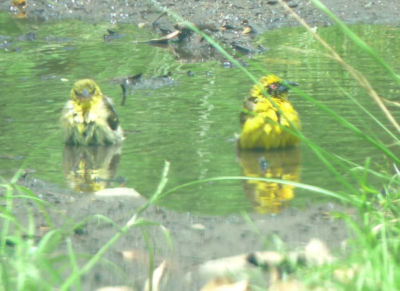 et quelques oiseaux de la Réunion... Rtisse10