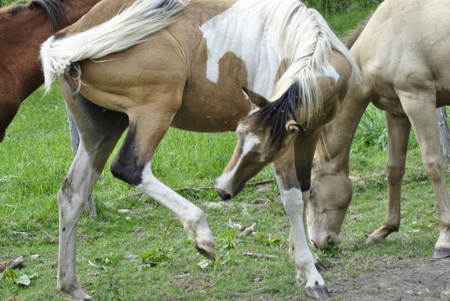 Ewyn straits dunit lignée reining / working cow  Chevau12