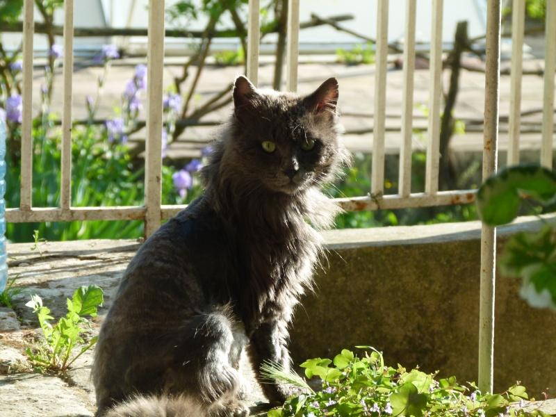 MISTI - chat mâle , 2 ans environ - (PERTUIS 84) - adopté par sa FA 2015-010