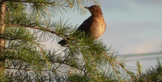Quel est cet oiseau ? Oiseau13
