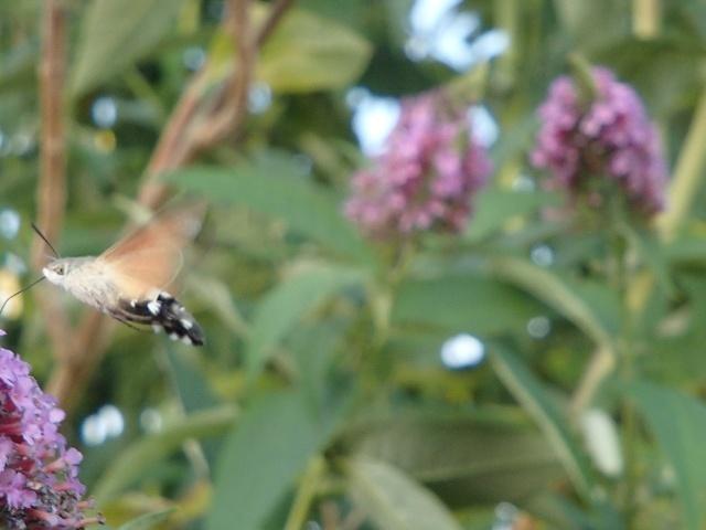 Papillons et autres insectes P7110011