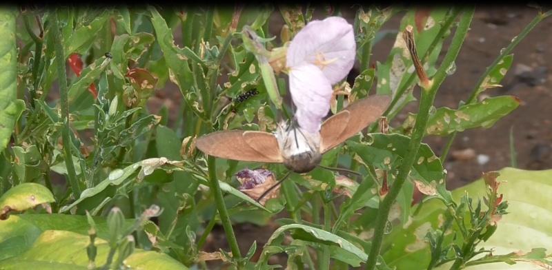 Papillons et autres insectes Sphinx11