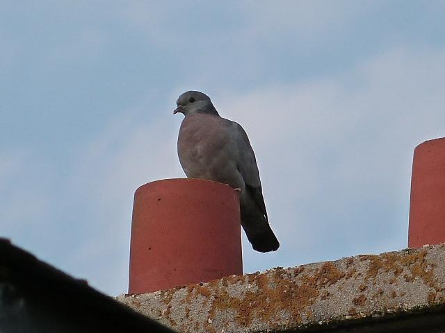 Pigeons colombins ? pigeons bisets ?  P1270310