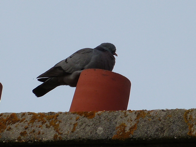 Pigeons colombins ? pigeons bisets ?  P1270311