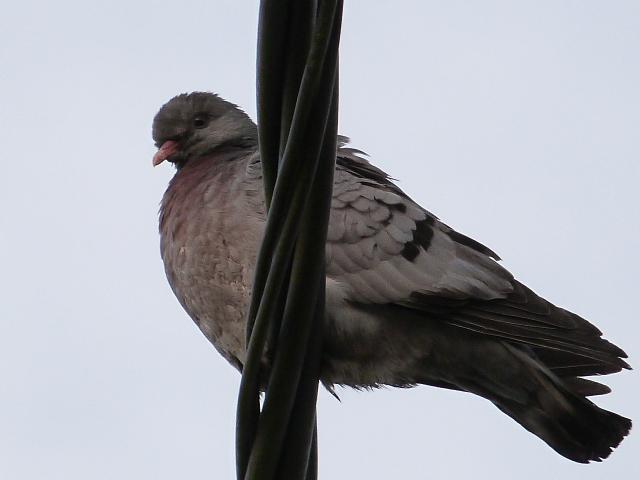 Pigeons colombins ? pigeons bisets ?  P1270410