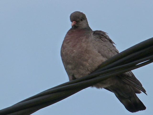 Pigeons colombins ? pigeons bisets ?  P1270411
