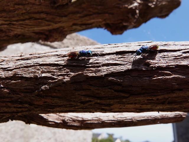 Pour un insecte ??? S_V_ P : Chryside P1270911