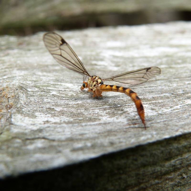 insecte ???Diptère Tipulidae du genre Nephrotoma P1280513
