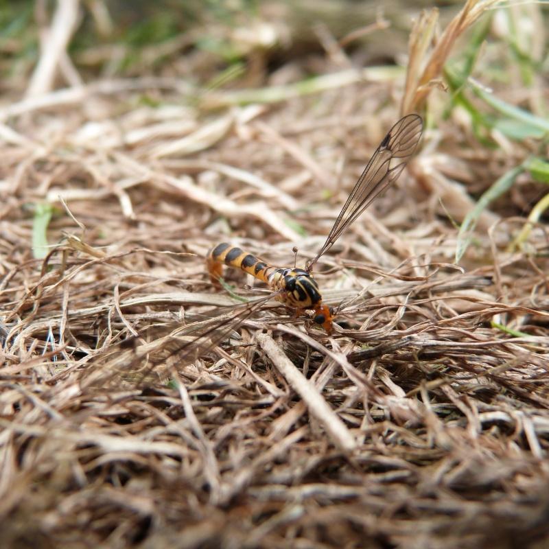 insecte ???Diptère Tipulidae du genre Nephrotoma P1280514
