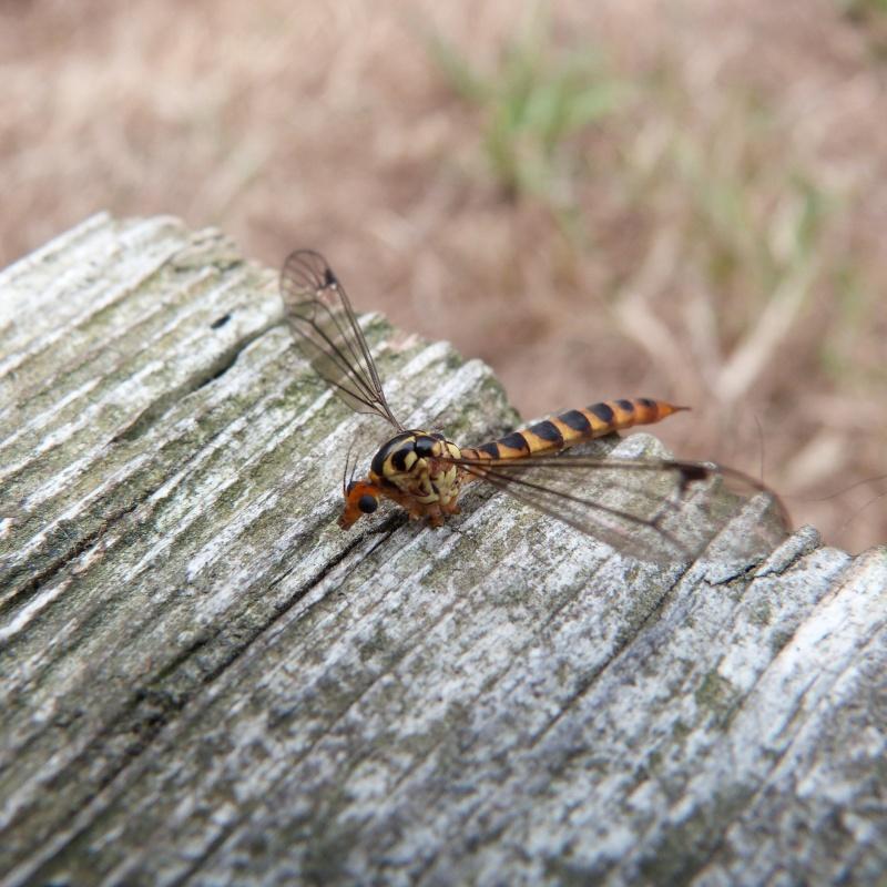 insecte ???Diptère Tipulidae du genre Nephrotoma P1280515