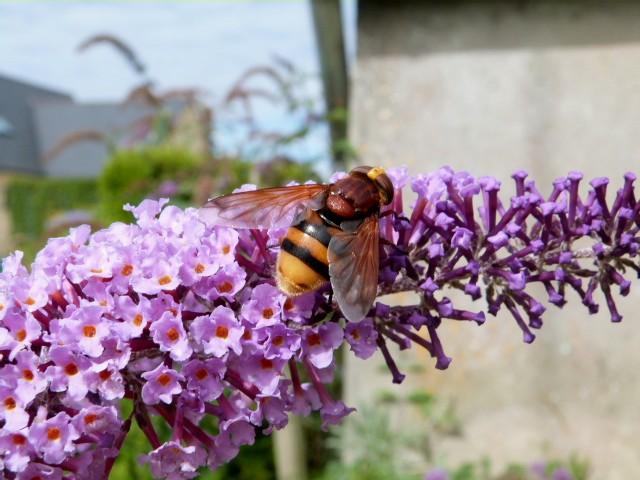 Au jardin . Mouches butineuse P1280914