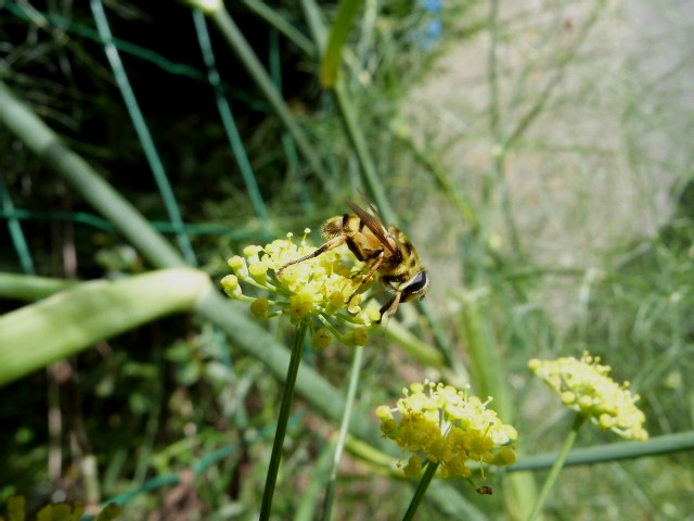 Au jardin . Mouches butineuse P1290214