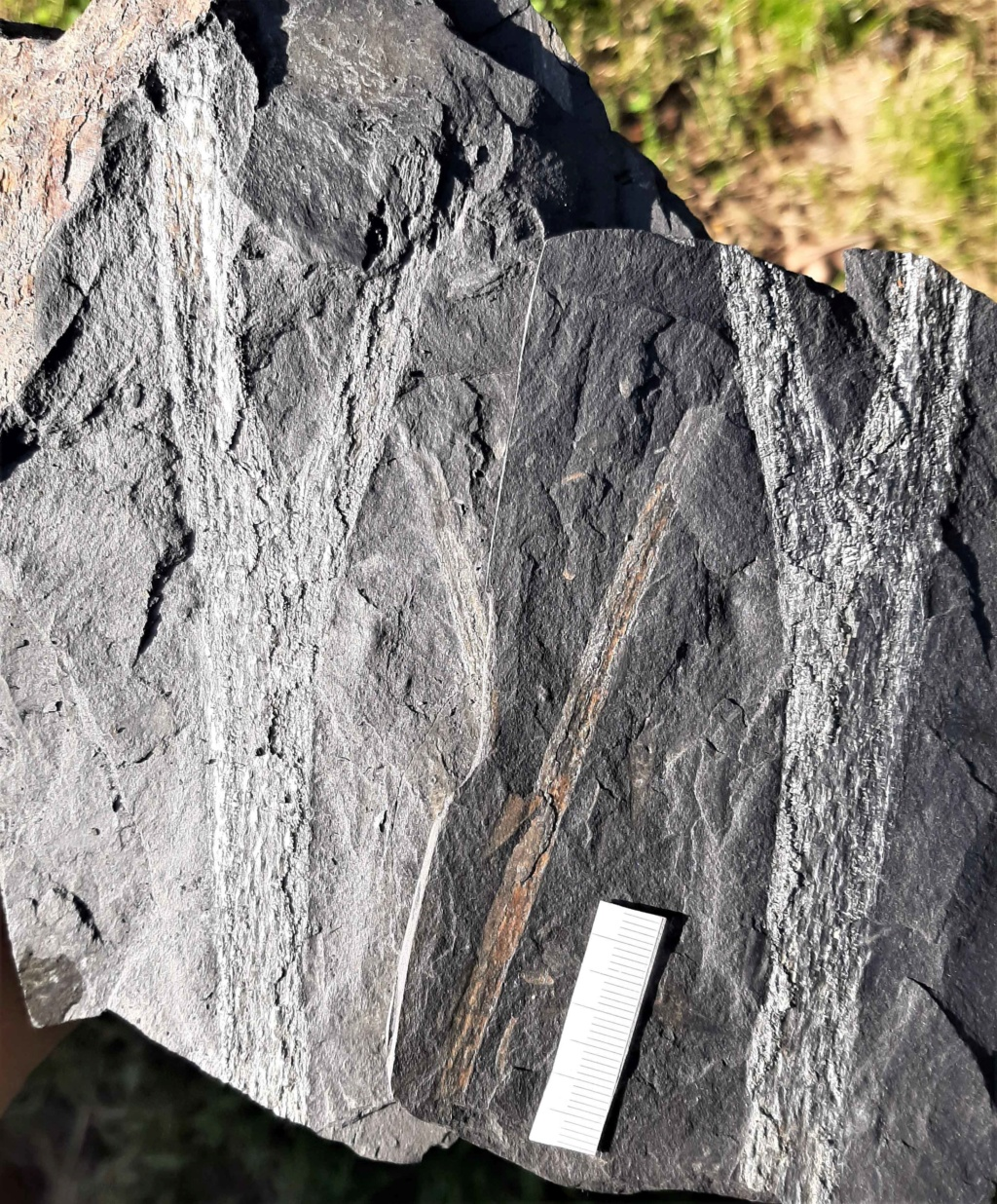 Flore Carbonifère des Alpes Françaises part 2 - Page 4 20200611
