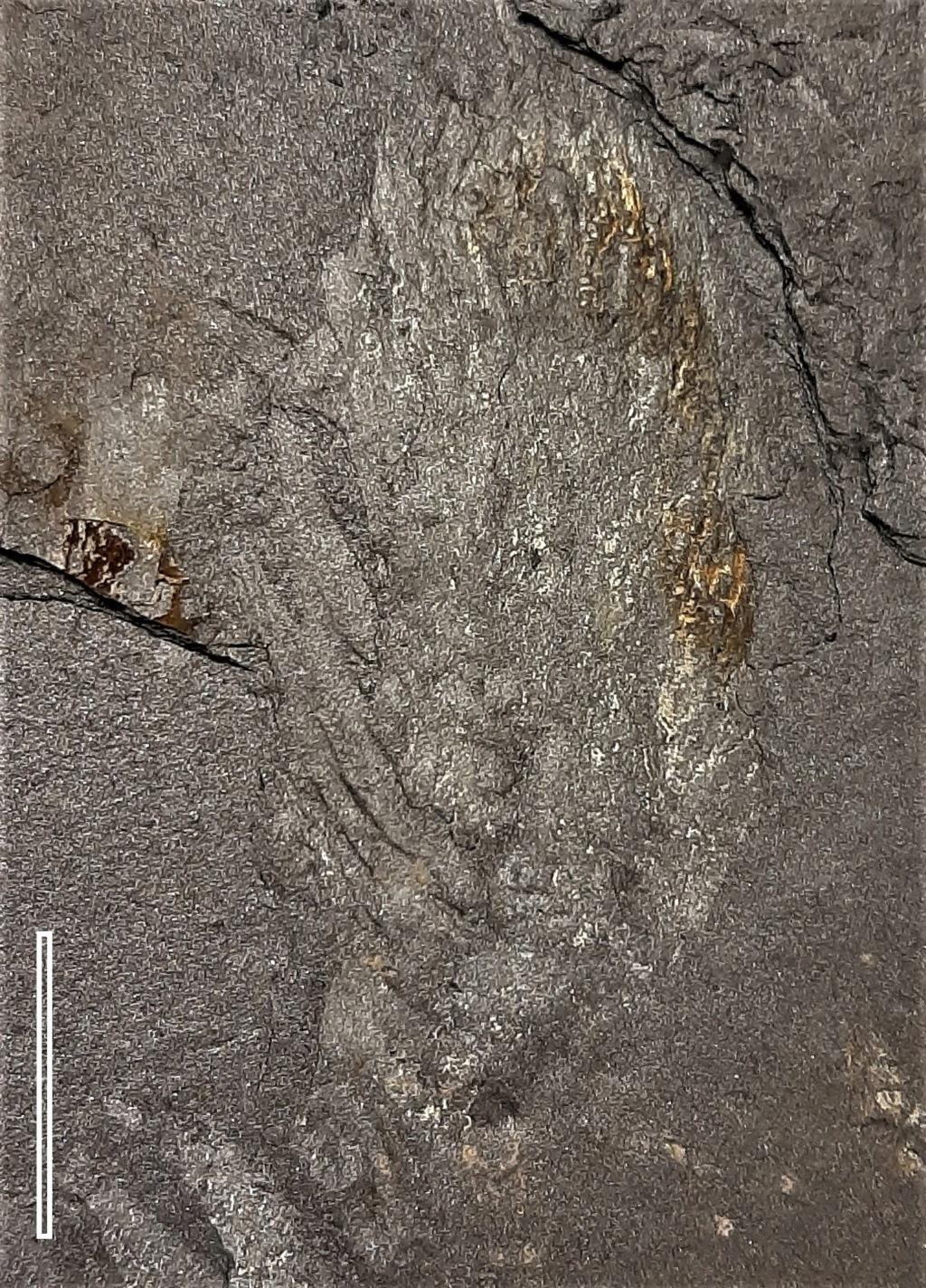 Flore Carbonifère des Alpes Françaises part 2 - Page 4 20200811