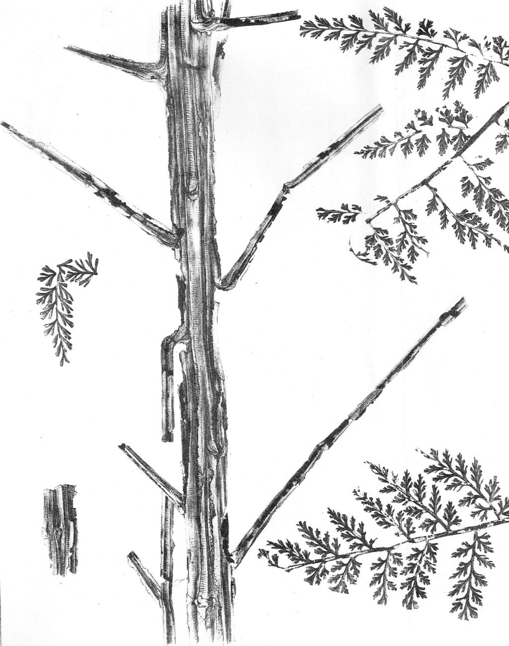 Flore Carbonifère des Alpes Françaises part 2 - Page 3 49895210