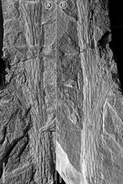 Flore Carbonifère des Alpes Françaises part 2 - Page 4 Axe_sp10