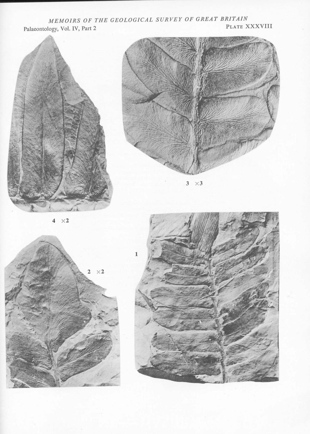 Flore Carbonifère des Alpes Françaises part 2 - Page 4 File2813