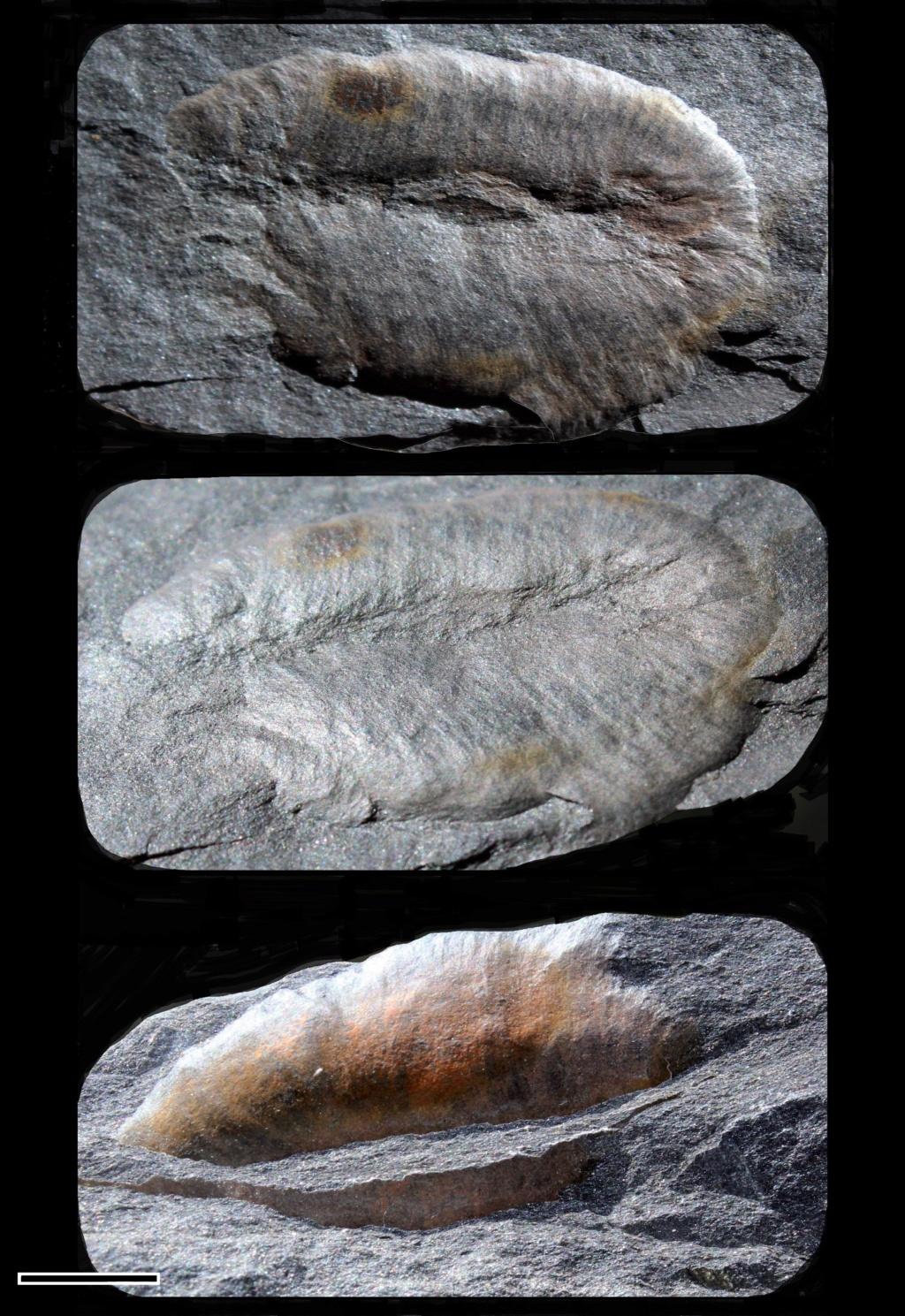 Flore Carbonifère des Alpes Françaises part 2 - Page 4 Guilie10