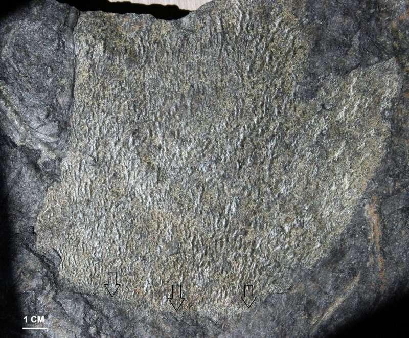 Flore Carbonifère des Alpes Françaises part 1 Img_2614