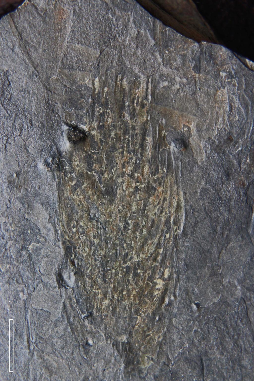 Flore Carbonifère des Alpes Françaises part 2 - Page 3 Img_6912