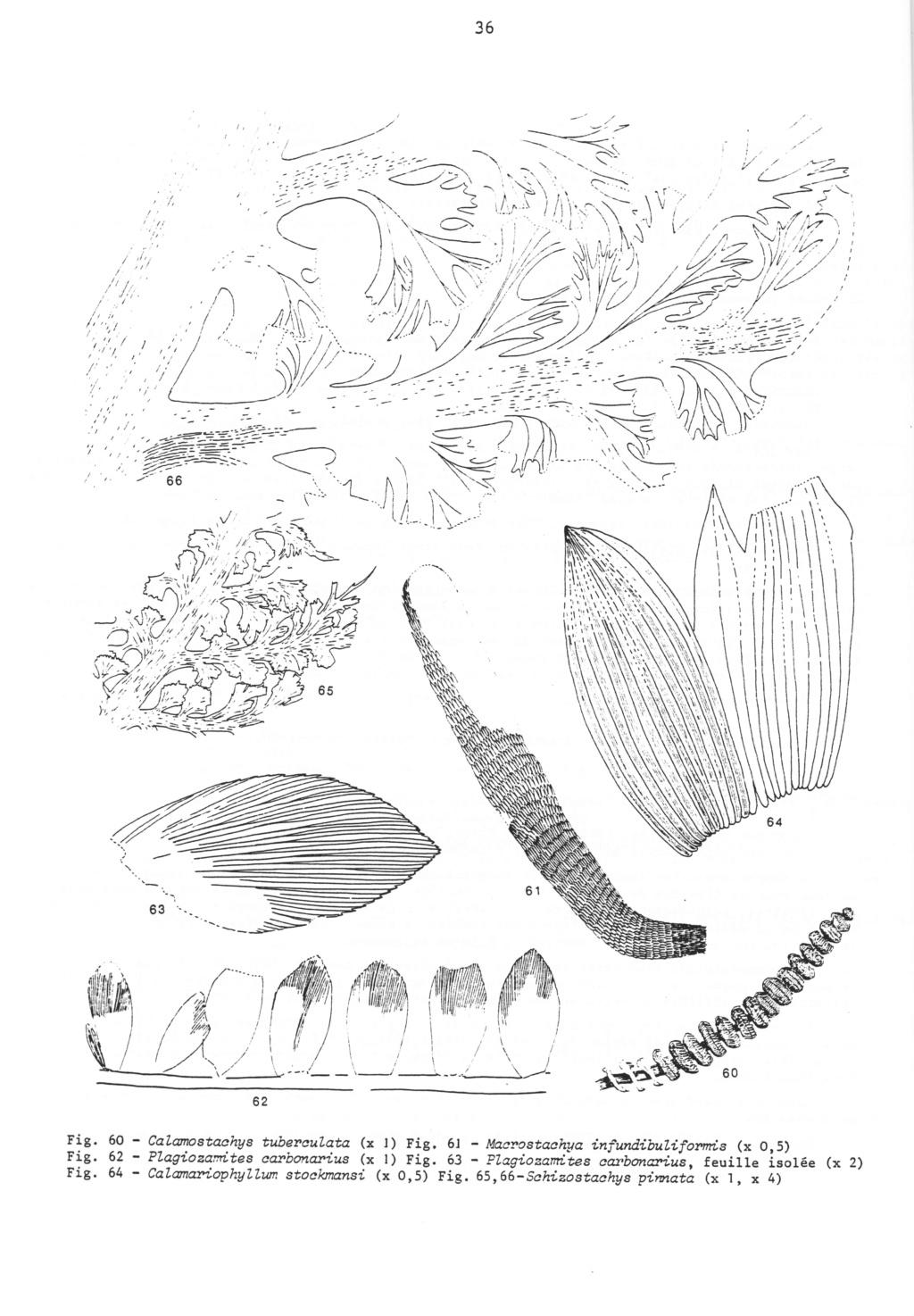 Callipteridium   Weiss , 1870 . Langia10