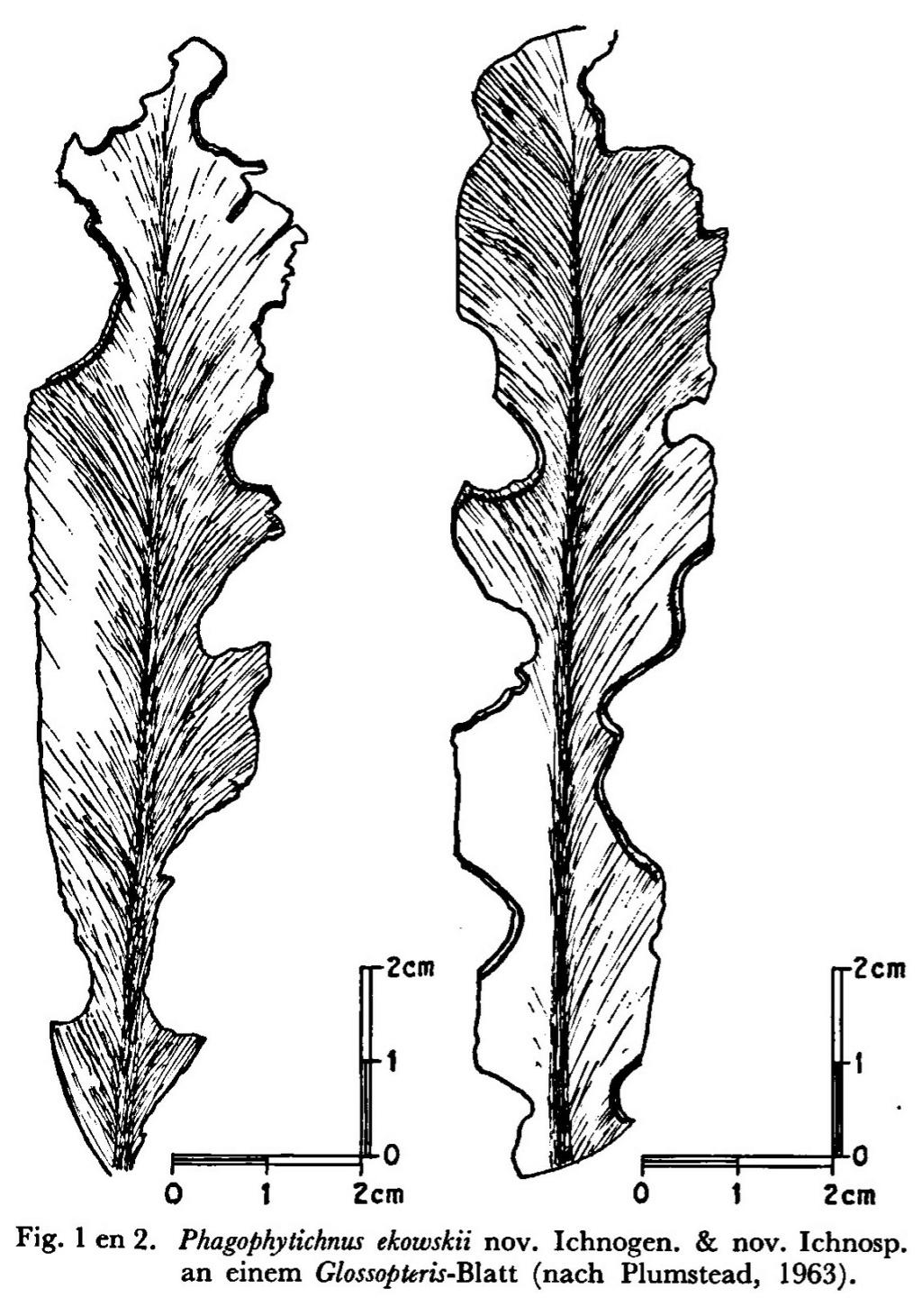 Flore Carbonifère des Alpes Françaises part 2 - Page 4 Lgm19611
