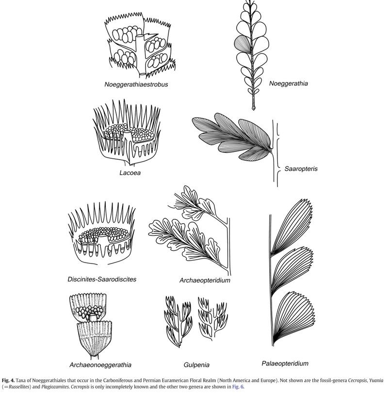 Palaeopteridium Kidston , 1923. Pfeffe10