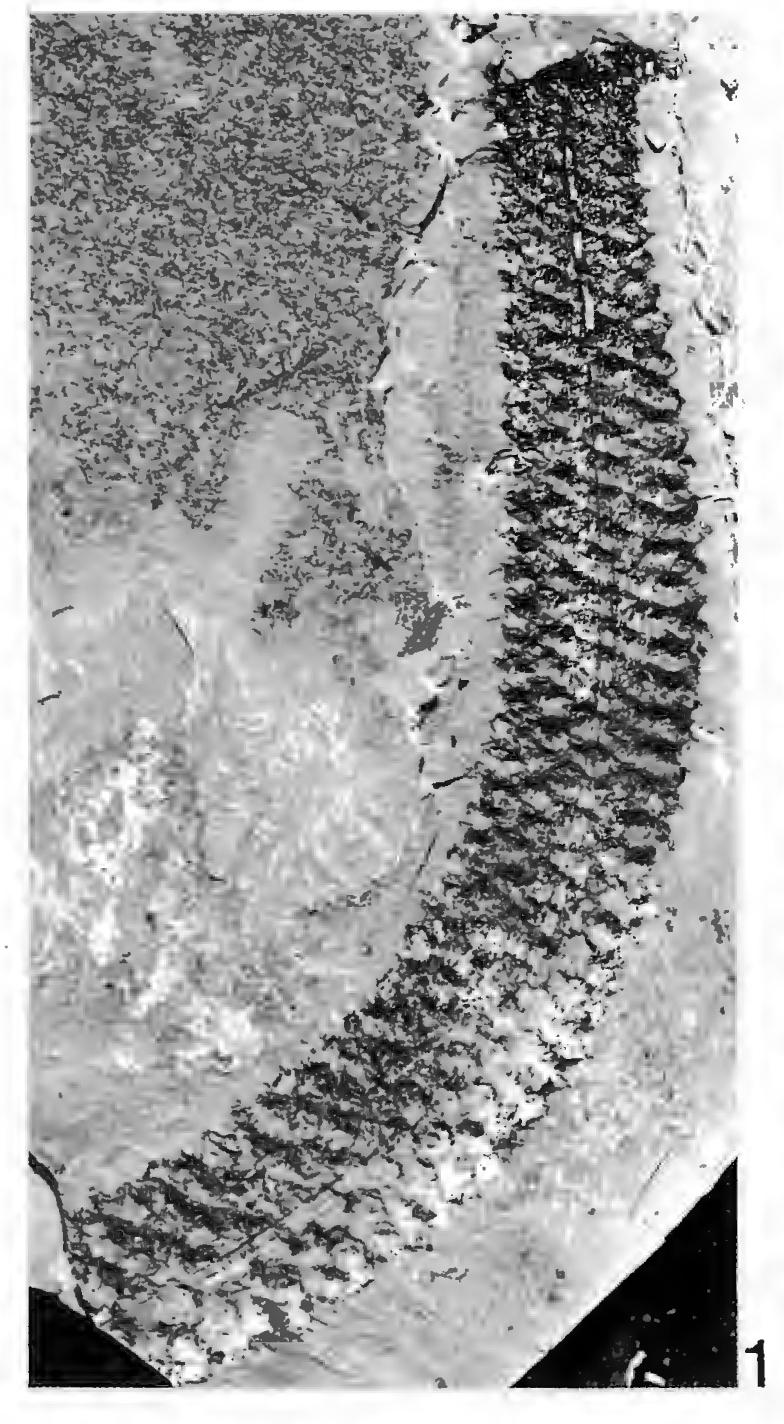Flore Carbonifère des Alpes Françaises part 2 - Page 3 Schult14