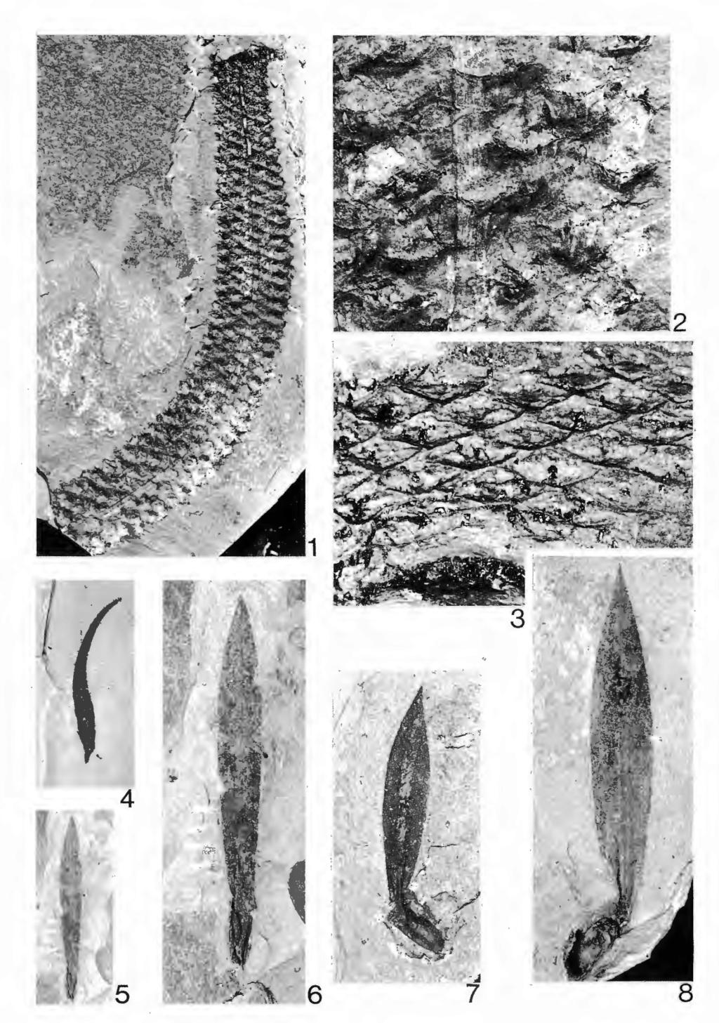 Flore Carbonifère des Alpes Françaises part 2 - Page 3 Schult15