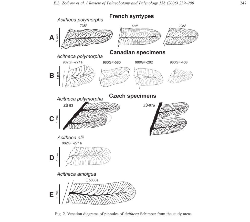 Flore Carbonifère des Alpes Françaises part 2 - Page 4 Taxono11