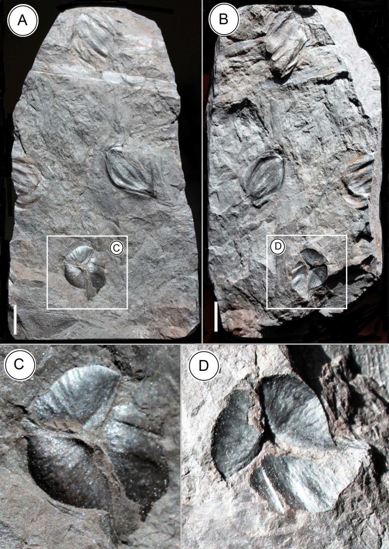 Trigonocarpus  Pachytesta  Hexagonocarpus  - Page 2 Trigon10