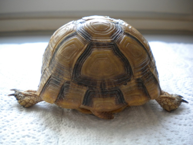 La tortue mauresque (Testudo graeca) Dscn6341