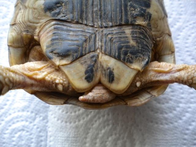 La tortue mauresque (Testudo graeca) Dscn6342