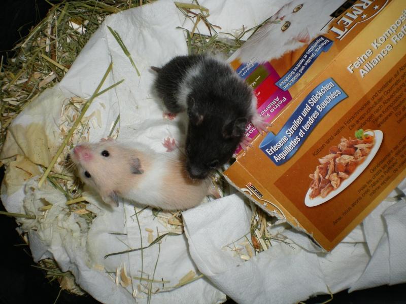 CHENAPINE, jolie petite hamster dorée d'un mois en FA dans le 68 Imgp0011