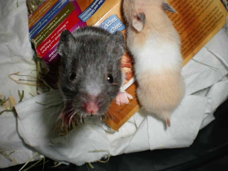 CHENAPINE, jolie petite hamster dorée d'un mois en FA dans le 68 Imgp0013