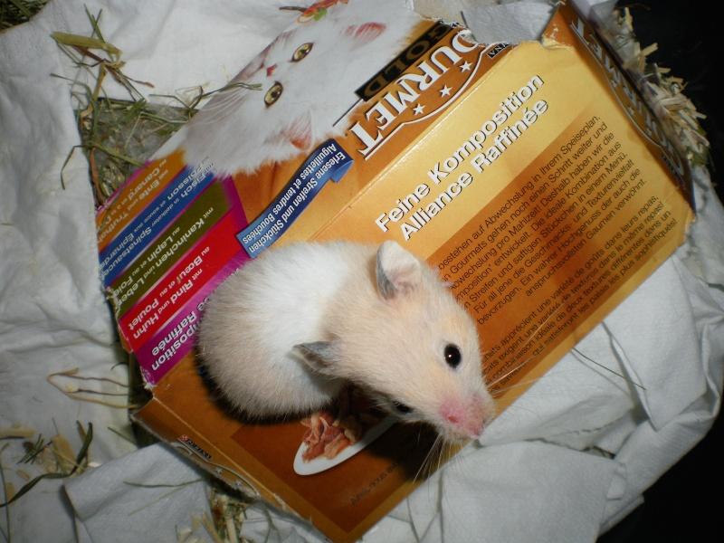 CHENAPINE, jolie petite hamster dorée d'un mois en FA dans le 68 Imgp0014
