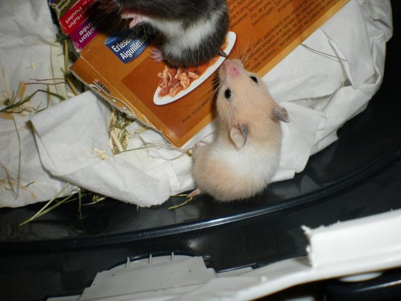 CHENAPINE, jolie petite hamster dorée d'un mois en FA dans le 68 Imgp0015
