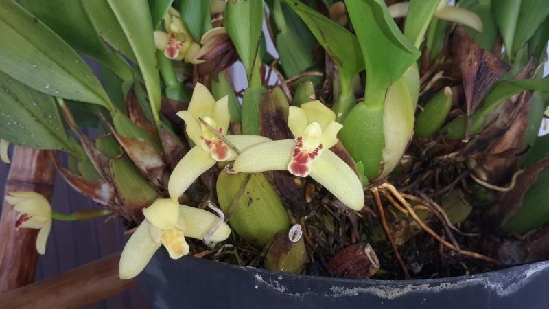 Ça sent bon ou ça pue, mais les orchidées ça parfume, besoin d'aide - Page 3 20150716